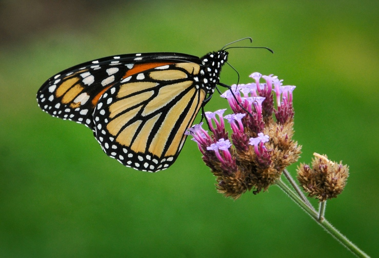 Wanderer Butterfly. Photo by Carol Hall.